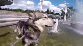 спасение от жары для собак  GOPRO HERO4