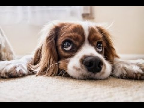 Health Concerns For Cavalier King Charles Spaniel Dogs