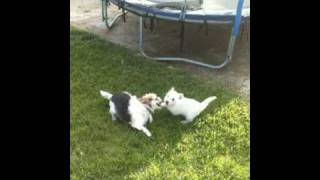 Westie Puppy Playing W/adult Terrier Mix