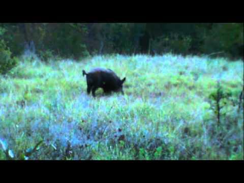 Tres Poynor-Boar Bow Hunt (Self Filmed)