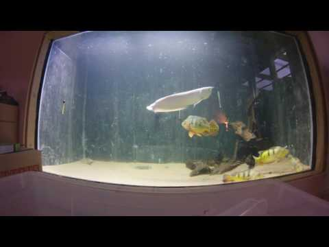 Adding fish to my new 5500L aquarium from my temporary holding tank