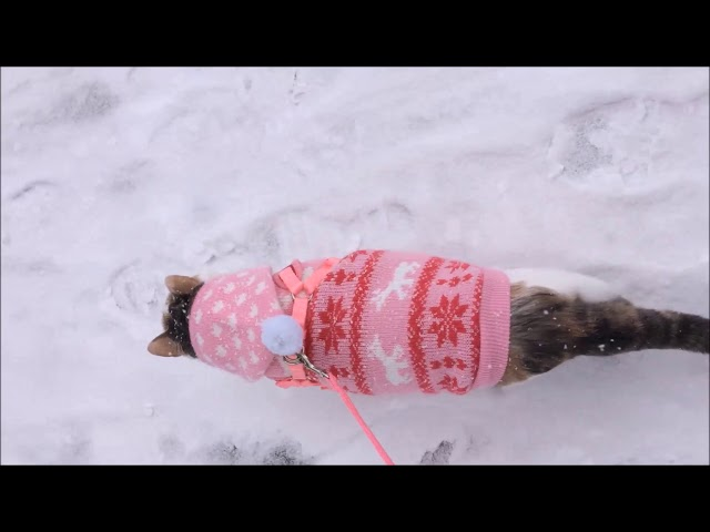 Kali-Ma the Cat walking in snow after big snow storm 02-10-2018