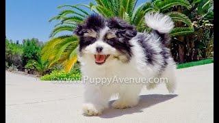 Houston Our Pomtese Hybrid Tri Color Adorable Puppy For Adoption Near Escondido, Ca