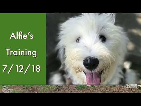 Old English Sheepdog Puppy Training by Rewarded Behavior Continues
