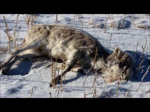 Mongolian saiga is endangered!