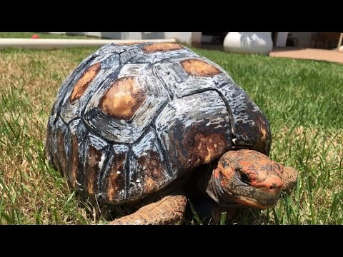 Tortoise Gets Hand-Painted 3D Printed Shell After Surviving Forest Fire