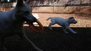 White Swiss Shepherd Puppies