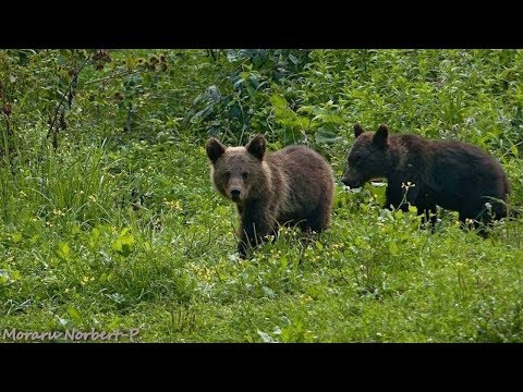 Medveles kamera / European brown bear cam