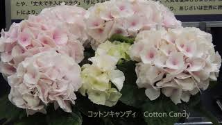 日本フラワー&ガーデンショウ2018 世界に誇れるあじさいの花 thumbnail