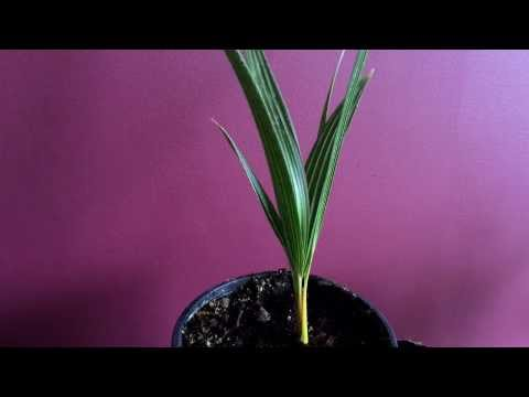 Growing Palm Trees from seeds/ Sowing Windmill Plam tree seeds Trachycarpus fortunei