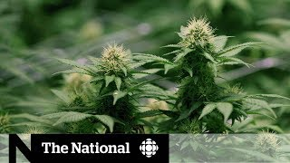 Money from marijuana legalization — provinces weigh costs and benefits