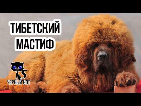 Тибетский мастиф / Интересные факты о собаках