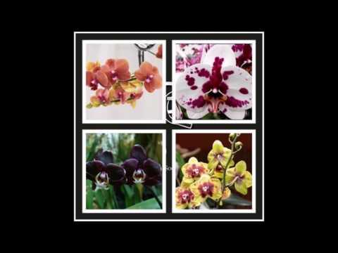 Mudas de Orquídeas Phalaenopsis Para Cultivar em Casa - Tenha seu Orquidário