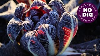 Grow chicory for beautiful hearts of radicchio, dense and bittersweet, or for chicons