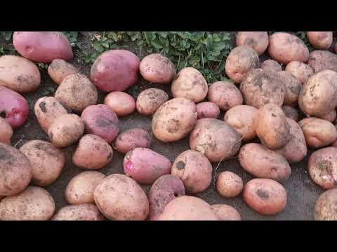 Сорта картофеля Великан и Хозяюшка