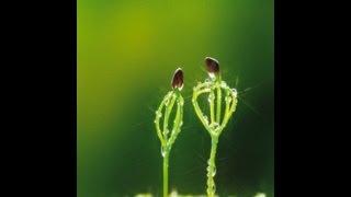 Кедр - как вырастить саженцы  Pínus sibírica(Это видео про то, как вырастить кедр из орешка в домашних условиях. Выращивание кедра из орешка -- пошаговая..., 2013-05-06T16:41:52.000Z)