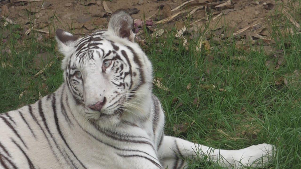 Youtube White Tiger