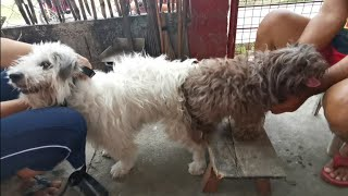 Dog mating, Minky (shih tzu terrier cross dam) & Taiko (pure choco liver shih tzu sire)