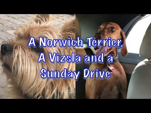 A Norwich Terrier A Vizsla and a Sunday Drive