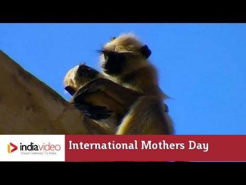 Monkey mother and her act of bravery