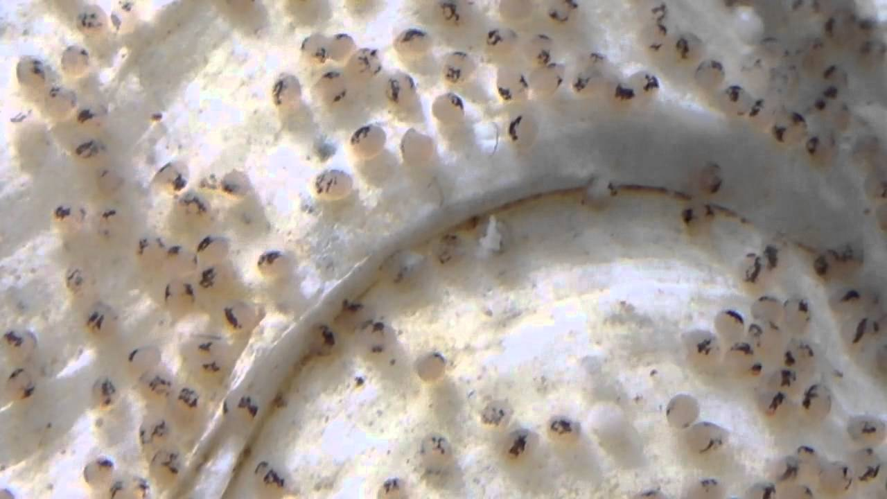 Red jewel cichlid eggs hatching video 3 youtube for Fish eggs hatching