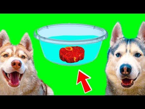 ДОСТАНЬ МЯСО ИЗ ВОДЫ БЕЗ ПОМОЩИ ЛАП!! (Хаски Бублик) Говорящая собака Mister Booble