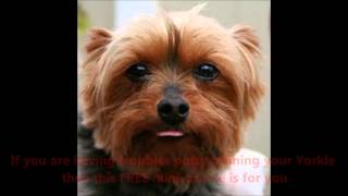 STOP Your Yorkshire Terrier from using you House as a Bathroom- Excellent FREE MINI-COURSE