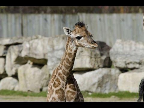Flamingo Land Zoo Giraffes