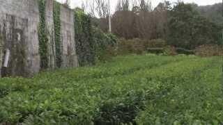 The Gorreana Tea Plantation, Sao Miguel, Azores