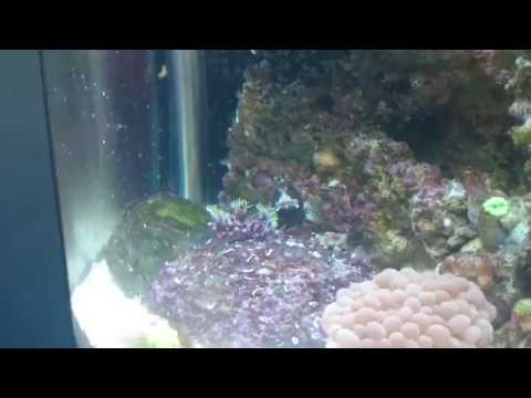 Yellow line shrimp cleaning blenny