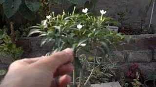 Chandni Tree Information | Blooming Plant | Little jasmine plant | October-2016(urdu/hindi)