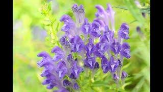 TARCZYCA BAJKALSKA (BAJKALINA) - działanie i zastosowanie zioła z Syberii