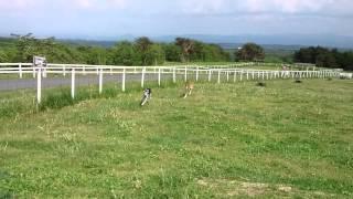 サルーキのステラと、ボルゾイのグレース。 那須高原、どうぶつ王国にて。