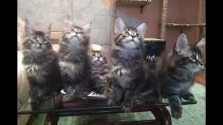 танцующие котята.avi