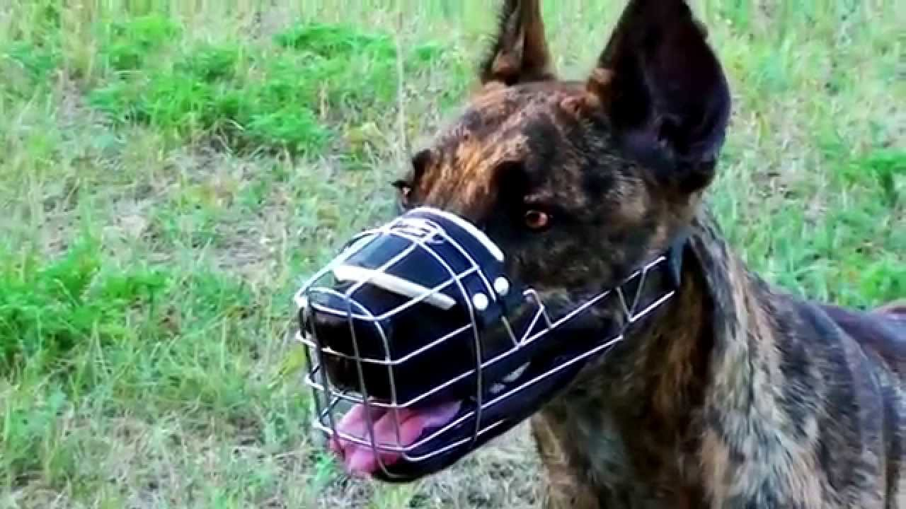 Great Dane Cane Corso And Dalmatian In Wire Basket Muzzle Youtube