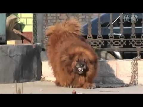 Tibetan mastiff vs pitbull funnydog tv