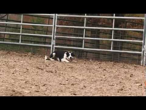 Working Like a Dog - Cowdog Training w/ Mike Wright