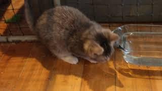 Lulu aka Chubette ready for adoption Fat Tuesday 2018