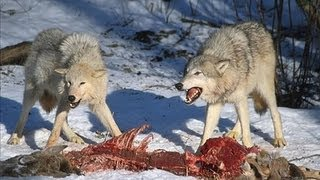Wolf Pack Hunting