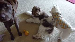 Westie Wants Labradoodle To Play