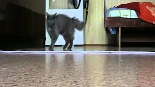 Кот странно ходит на задних лапах