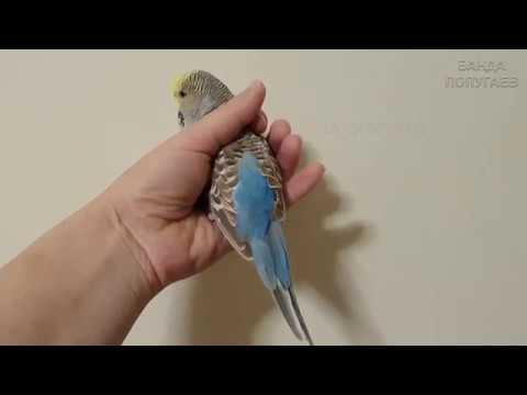 📝 Короткий хвост у волнистого попугая || Причины || Есть ли повод для беспокойства?