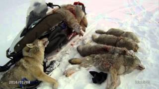 Охота на волка в горах Алтая