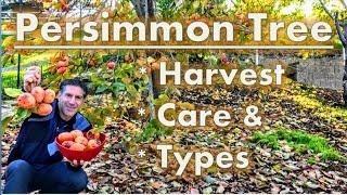 Persimmon Tree Harvest |  Care |  Varieties