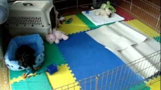 Splendent Standard Poodle Puppy 7.5 Weeks Old - Training
