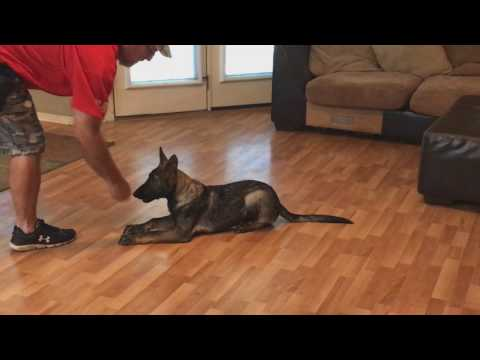 Sable German Shepherd Puppy 'Jakobe' 18 Wks Obedience Protection Trained Dog For Sale