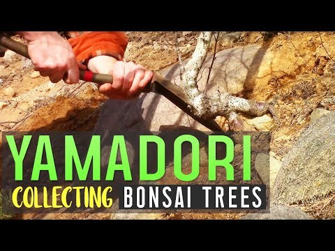 YAMADORI - Collecting Bonsai Trees & Potting
