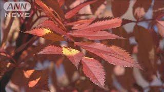 雪景色に紅葉映える 富士山5合目に秋の装い(19/11/02)