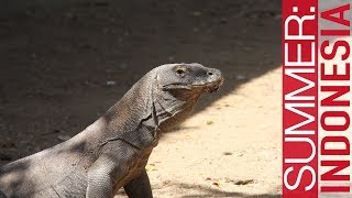 Komodo Dragons (& the Labuan Bajo Seafood Night Market) // Summer: Indonesia 2