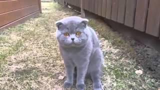 Кот орет на хозяйку
